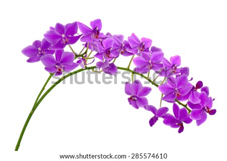 Blooming twig of purple orchid isolated on white background. Closeup. - stock photo