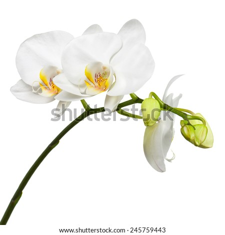 Blooming twig of white orchid with bandler isolated on white background. Closeup.