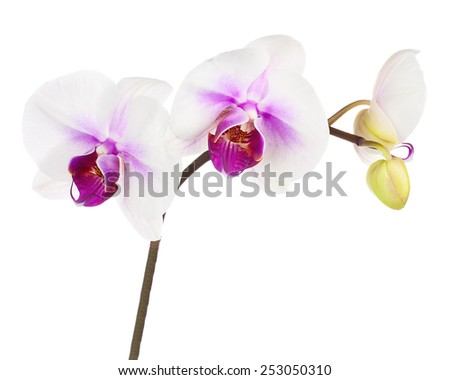 Blooming twig of white purple orchid, phalaenopsis isolated on white background. - stock photo