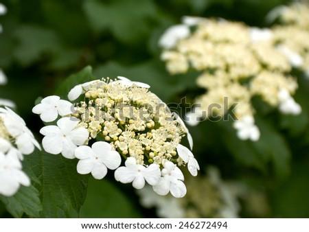 Blooming viburnum in garden. - stock photo