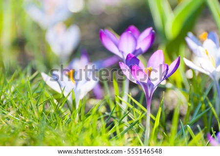 Blooming violet crocuses in spring, close up