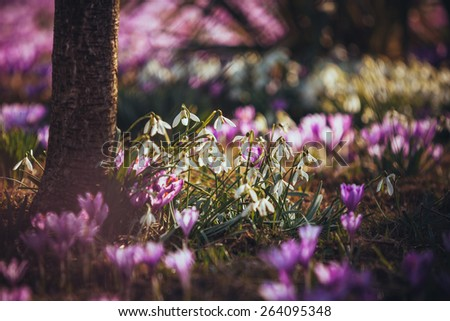 Blooming violet crocuses near a tree