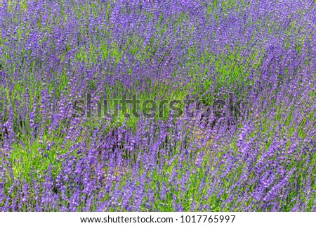 Blooming Violet lavender flowers in sunny day.