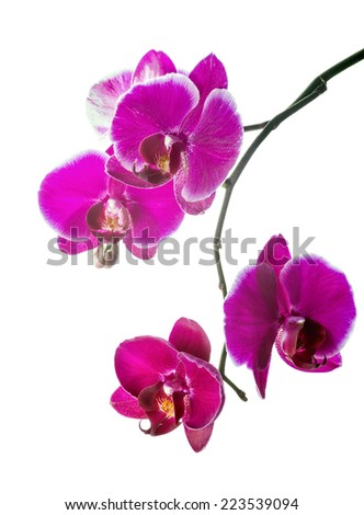 Blooming violet orchid with bandlet is isolated on white background - stock photo