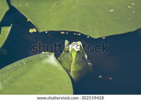 Blooming water lilies on the lake, white flowers and green leaves, summer, sunny day. Trendy photo effect  - stock photo