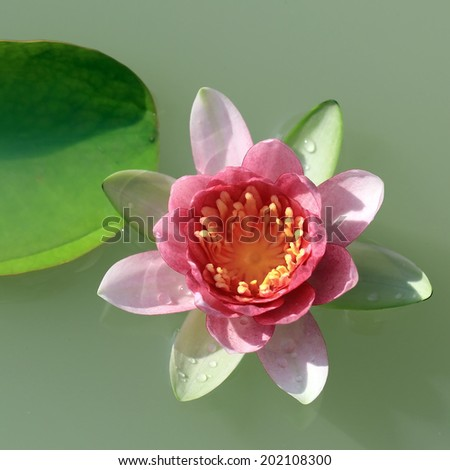blooming water lily flower in the pond - stock photo