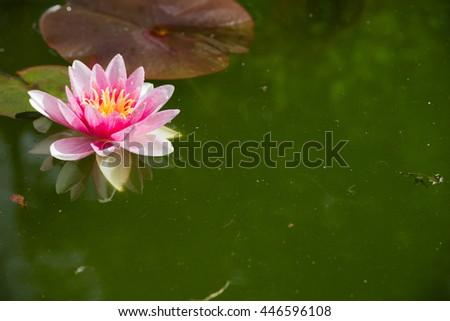 Blooming water Lily in a pond.
