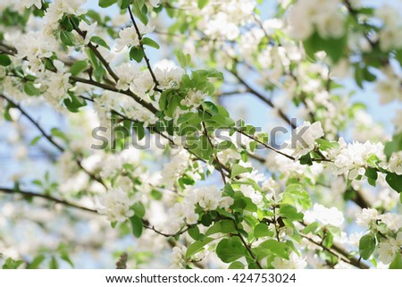 blooming white apple flowers in sunny day, shallow focus - stock photo