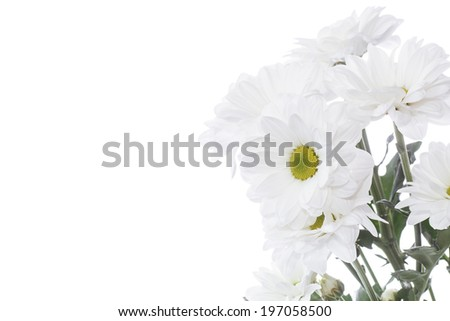 blooming white chrysanthemums on a white background