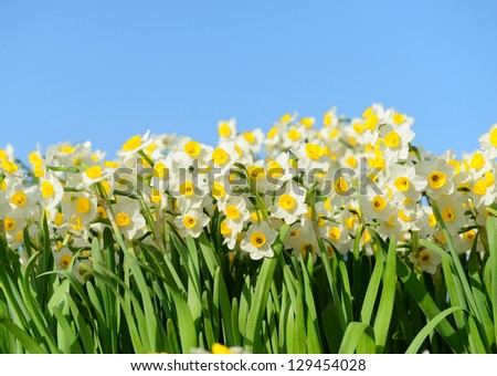 blooming white daffodils in close view - stock photo