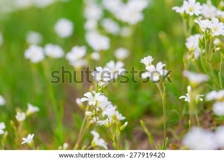 Blooming white flowers of chickweed in green grass. Nature springtime flowers background. - stock photo