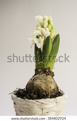 Blooming white hyacinth flower in a flowerpot. Shot from the well known spring flower the Hyacinth in a flowerpot.  The flower is just started blooming hence it has white to green gradient petals. - stock photo