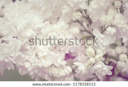 stock-photo-blooming-white-lilac-flowers