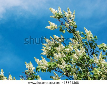 blooming white lilac on a background of blue sky