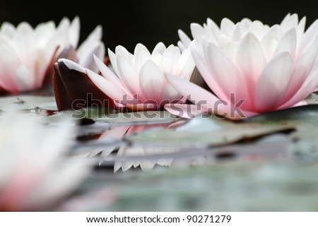 Blooming white lotuses - close up - stock photo