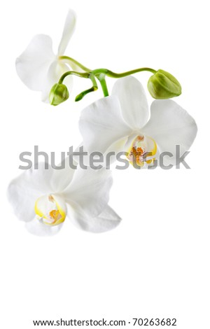 Blooming white orchid plant isolated on white background - stock photo