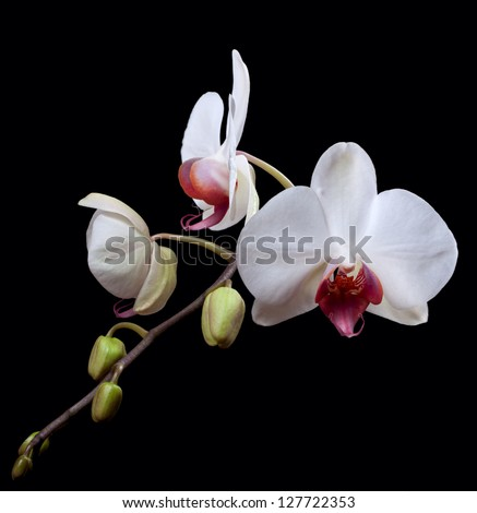 Blooming white Phalaenopsis orchids stem isolated on black background