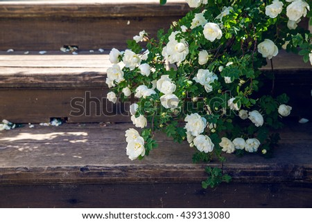 blooming white roses falling branches on a wooden stairs in the Park - stock photo