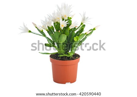 Blooming white schlumbergera in a pot isolated on white background. - stock photo