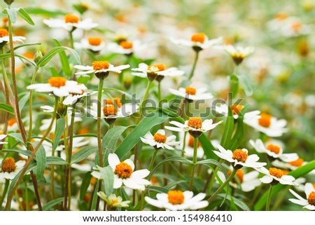 Blooming white star flowers - stock photo