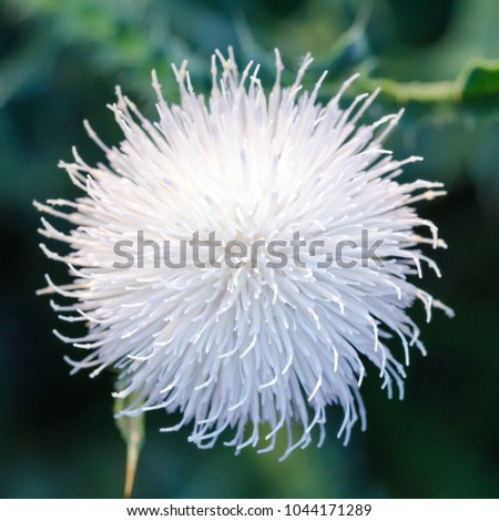 Blooming white thistle carduus known milk stock photo royalty free blooming white thistle carduus is also known as milk thistle silybum mightylinksfo