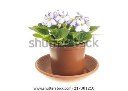 Blooming white violet in pot isolated on white background - stock photo