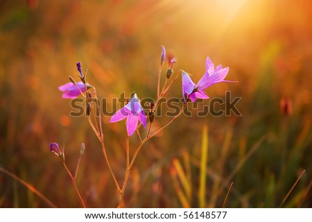 Blooming wild bluebell flowers in a meadow - stock photo