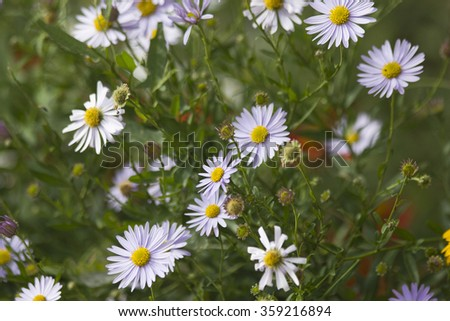 Blooming wild chamomile flowers in the field - stock photo
