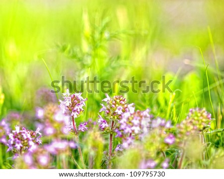 Blooming wild flower - Thyme
