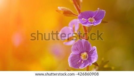 Blooming wildflowers in a meadow. close up. blue blooming Cardamine pratensis against the blurred natural background of a rural field. small depth of field. soft light effect - stock photo
