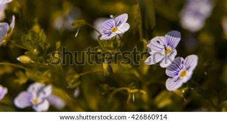 Blooming wildflowers in a meadow. close up. Lilac blooming Cardamine pratensis against the blurred nature background of a rural field. - stock photo