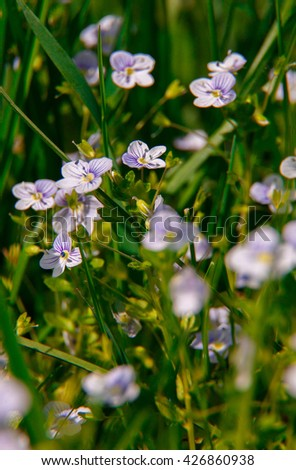Blooming wildflowers in a meadow. close up. lilac blooming Cardamine pratensis against the blurred nature background of a rural field. Group of blue flowers in green grass - stock photo