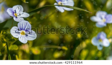 Blooming wildflowers in a meadow. close up. Lilac blooming Cardamine pratensis against the blurred nature background of a rural field. soft selective fokus. instagram toning efect - stock photo