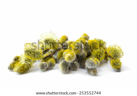 Blooming willow branch on white background - stock photo