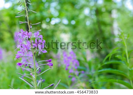 Blooming Willow herb Ivan tea fireweed Epilobium angustifolium background