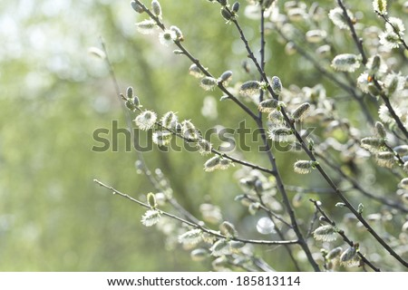 Blooming Willow (Salix caprea) - stock photo