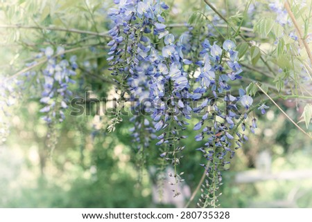 Blooming wisteria plant with lilac blossoms in romantic springtime garden  Ornamental Japanese wisteria blossoming in spring, image is filtered for vintage effect with blur vignette - stock photo