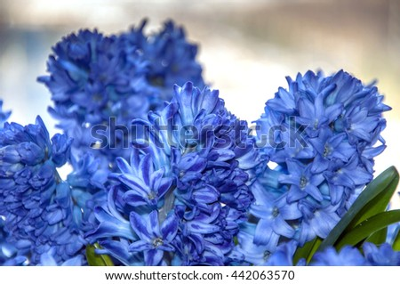 Blooming with blue little flowers hyacinth with green leaves. Many flowers on a branch. White flower edge.  - stock photo