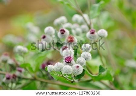 Blooming Woolly Burdock (Arctium Tomentosum) - stock photo