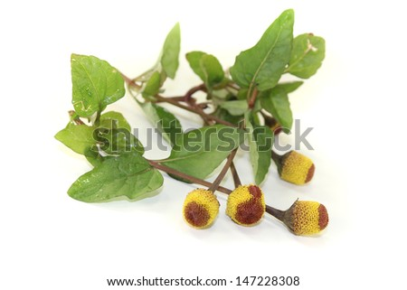 blooming yellow and brown Paracress on a bright background - stock photo