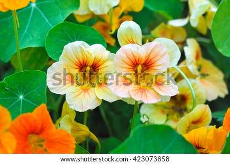 blooming yellow and orange nasturtium in garden - stock photo