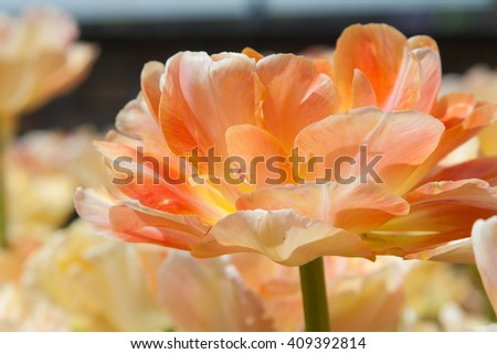 Blooming yellow and orange tulips