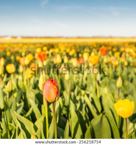 Blooming yellow and red tulip plants in a Dutch bulb nursery. - stock photo