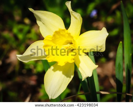 Blooming yellow daffodil - stock photo