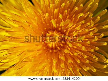 Blooming yellow dandelion