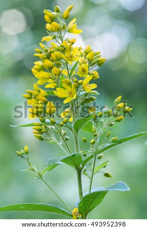 Blooming yellow loosestrife, Lysimachia vulgaris, reflections in the background
