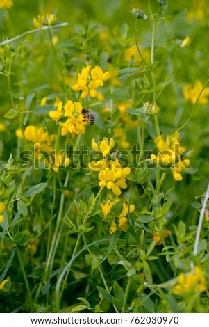 Blooming yellow lucerne sickle alfalfa field stock photo royalty blooming yellow lucerne sickle alfalfa in a field medicago falcata mightylinksfo