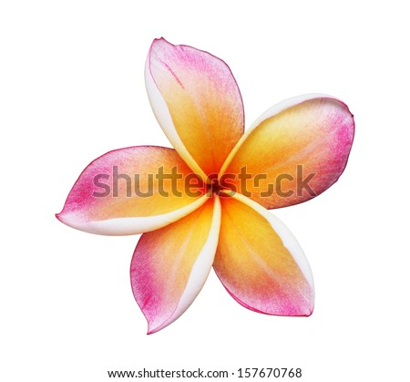 Blooming Yellow Plumeria (frangipani) on white background - with clipping path - stock photo