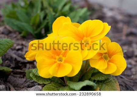 Blooming yellow spring primulas in flower bed - stock photo