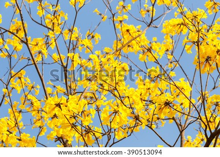 Blooming yellow trumpet flower and blue sky - stock photo